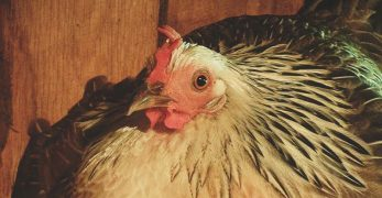 Top 10 Chicken Breeds That Will Give You Up To 300 Eggs Per Year