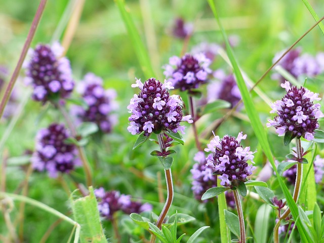 Thyme is an edible flower