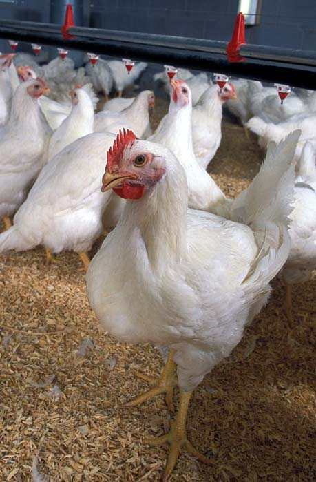 11 Best Meat Chicken Breeds To Raise In Your Backyard