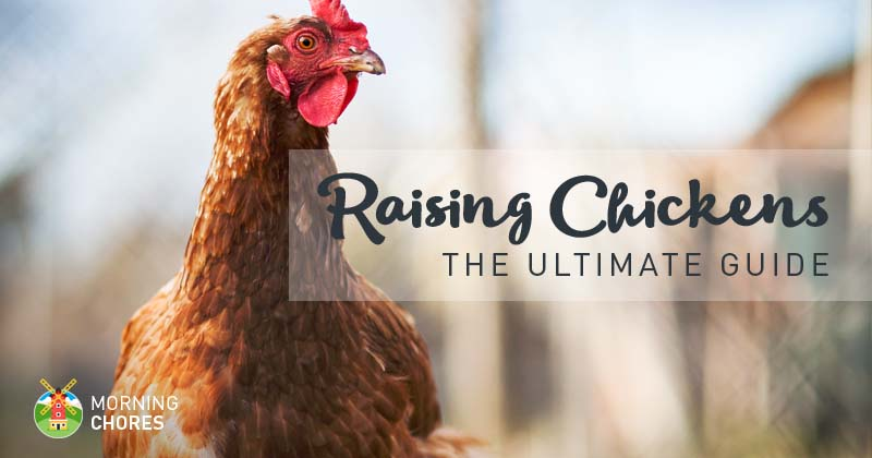 Raising Chickens Guide FB