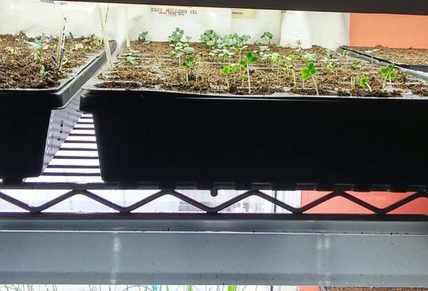 Seedlings growing under grow light