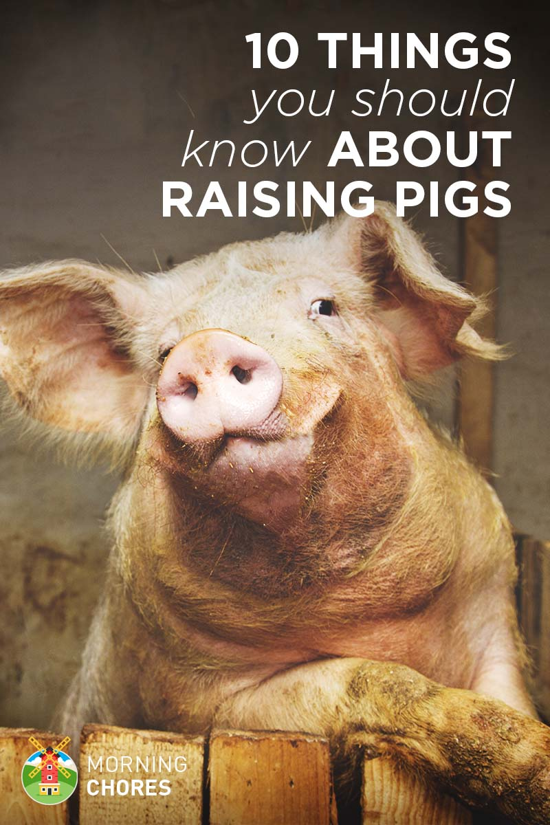 10 things about raising pigs you wont read in books publicscrutiny Choice Image