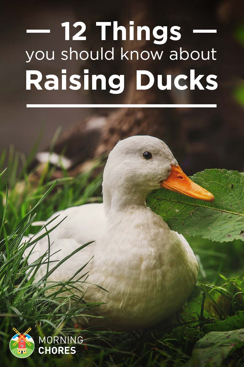12 things you need to know before getting your first ducks - A Picture Of A Duck
