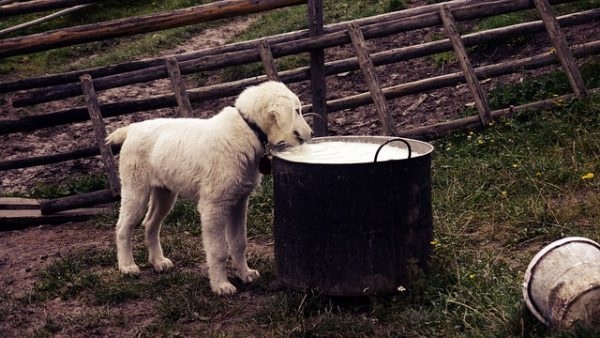 Dog drinking raw milk