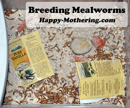 breeding-mealworms