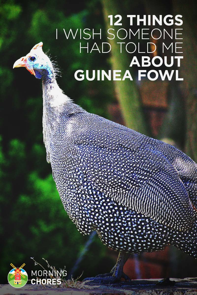 12 Things I Wish Someone Had Told Me Before Got My First Guinea Fowl