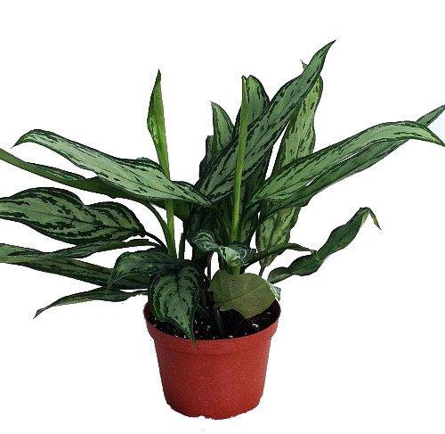 low-light houseplants