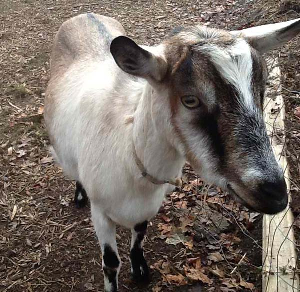 18 Best Goat Breeds for Milk and Meat Production Alpine Goat
