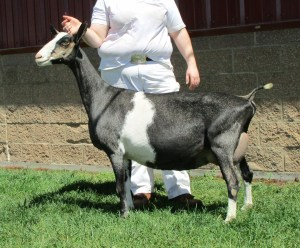 18 Best Goat Breeds for Milk and Meat Production