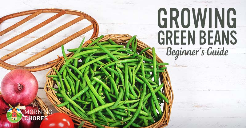 how to grow snap green beans