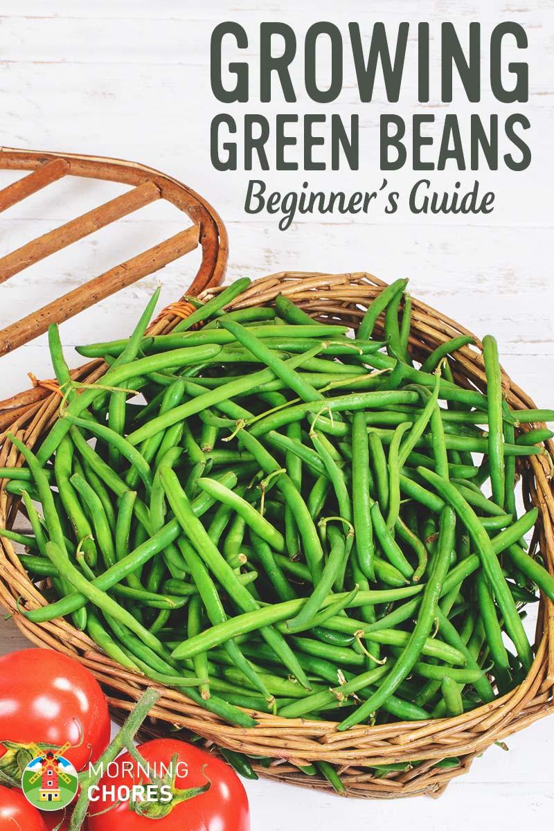 Half runner beans days to maturity