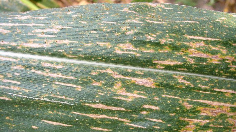 southern corn leaf blight
