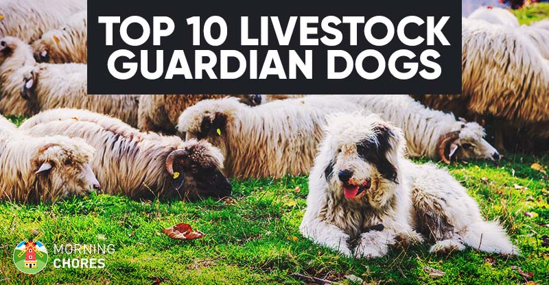Top Dog Breeds For Home Protection
