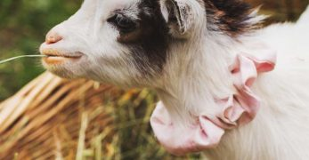 All You Should Know About Goat Pregnancy and Birth