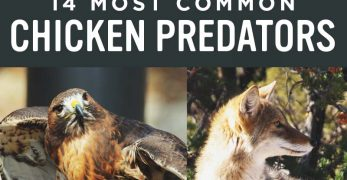 14 Most Common Chicken Predators and How to Protect Them