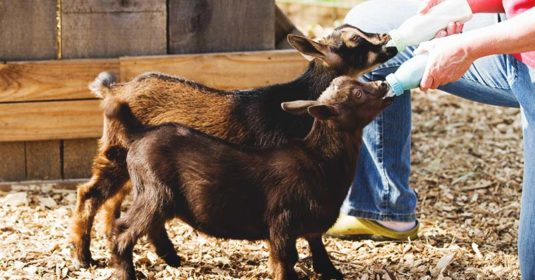Bottle Feeding Goats: 10 Important Points You Need to Consider