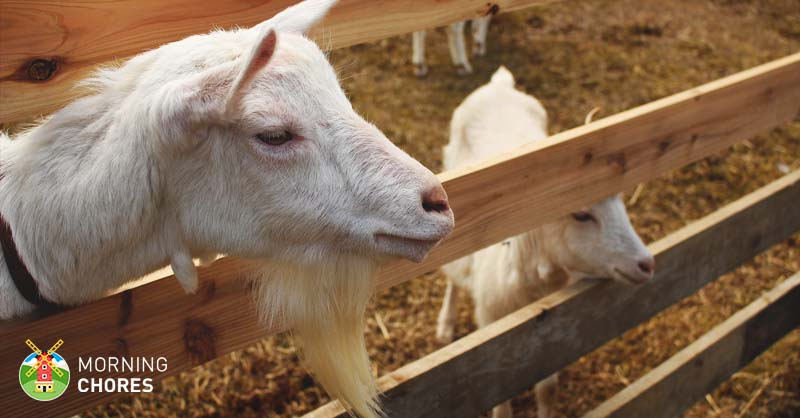 Goat Fencing 6 Important Tips To Consider Build The Perfect Fence