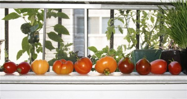 Tomatoes-on-window