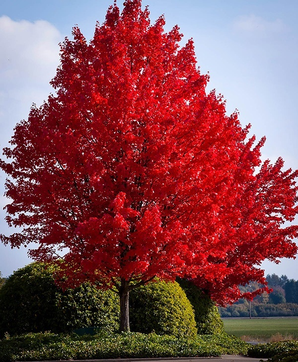 american-red-maple