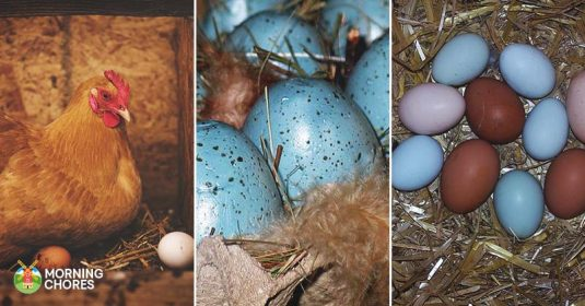 Chicken Breeds That Lay Blue, Green, Pink, White, and Other Egg Colors