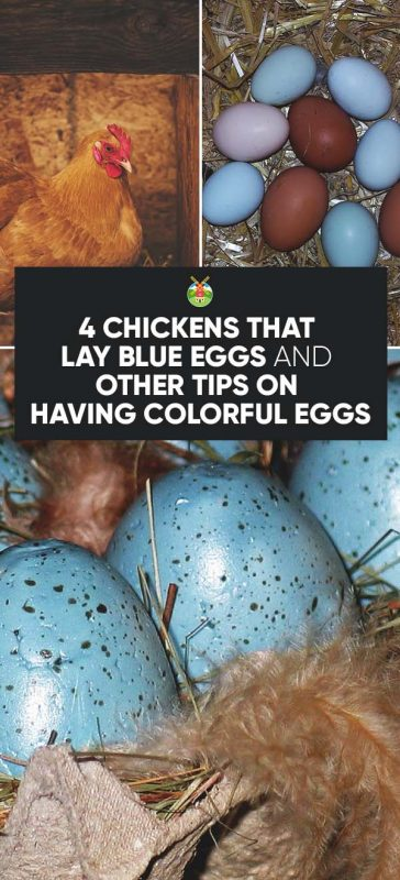 19 Inspirational Best Egg Laying Chickens Chart