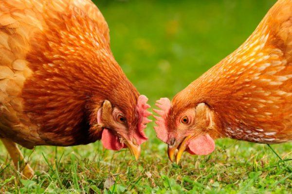 Hen-pecked