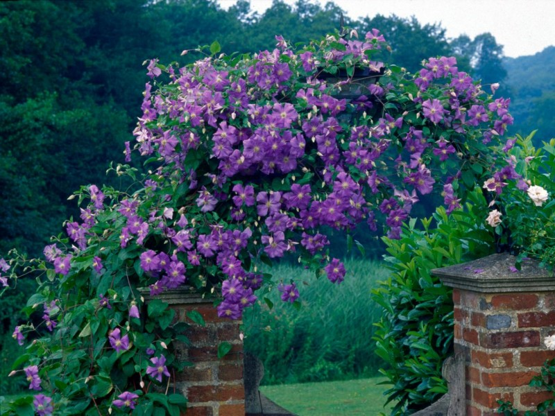 26 Trellis Plants That Are Bright Charming And