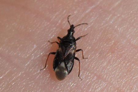 miniature-pirate-bug