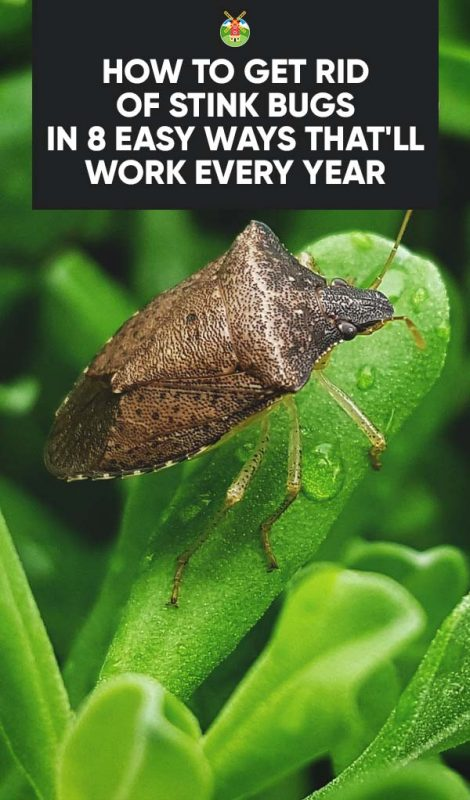 how to get rid of stink bugs in 8 easy ways that 39 ll work every year. Black Bedroom Furniture Sets. Home Design Ideas