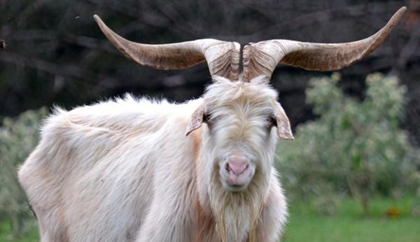 31 Goat Breeds For Milk  Meat   U0026 Fiber You U0026 39 Ll Need On The Farm
