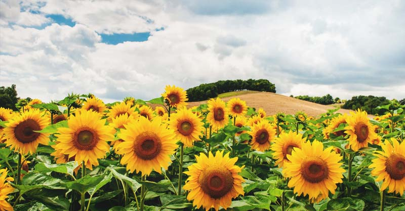 growing sunflowers how to plant grow and take care of sunflowers