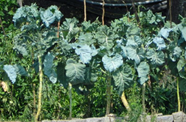 Walking-Stick-Cabbage