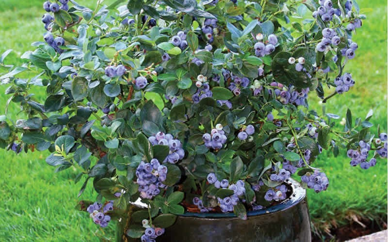 Growing Blueberries How To Plant Grow And Harvest