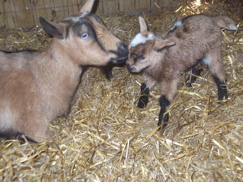 Goats peeing on their beards