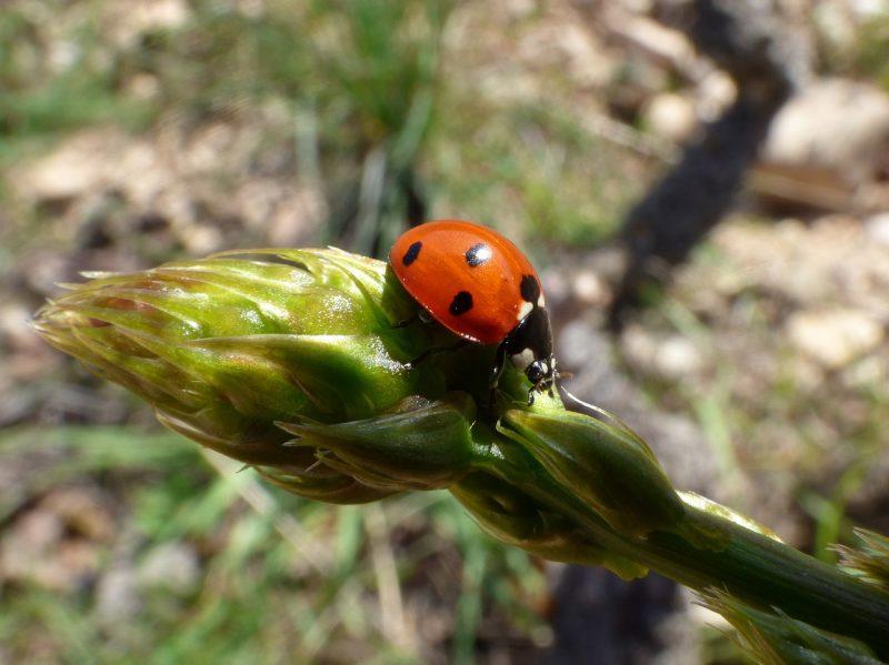 The Asparagus Beetle