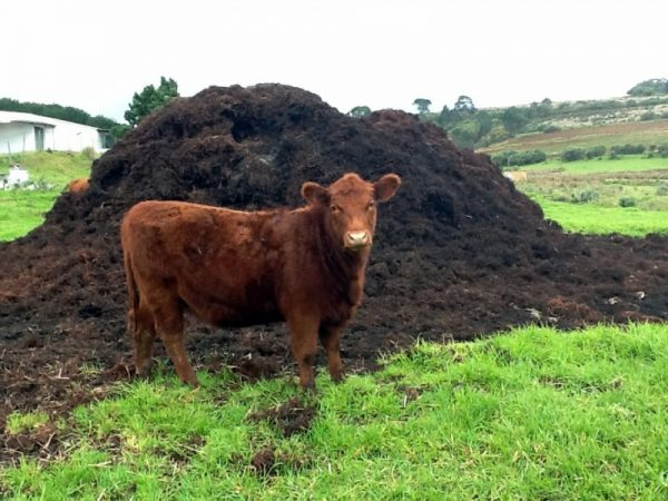 cow-manure