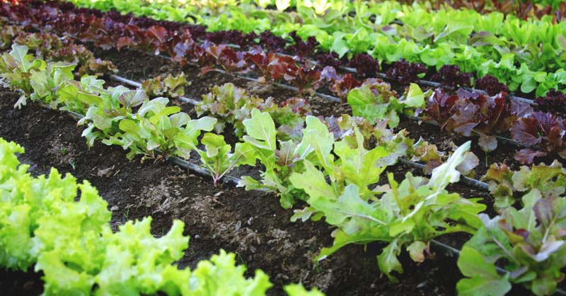 9-Tips-on-How-to-Grow-a-Salad-Garden-from-Seed-to-Sensational-Salad-FB.jpg (800×418)