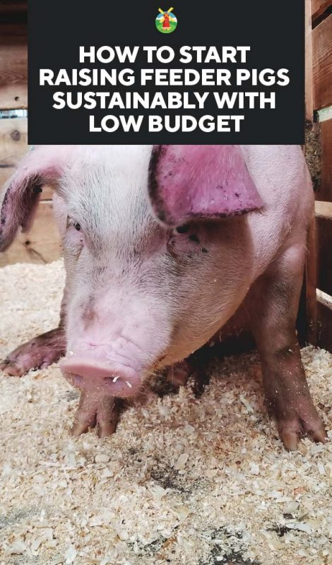 How to start raising feeder pigs sustainably with low budget why raise a feeder pig publicscrutiny Choice Image