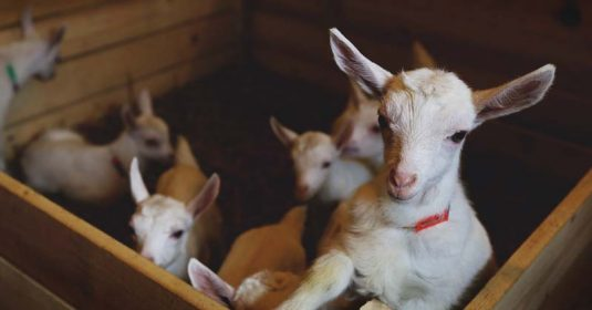 How to Train Your Goats to Use a Litter Box (and Save $40 Easily)