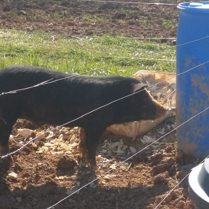 Pigs Need Water Like Any Other Living Creature. You Could Give Them A  Watering Trough And Fill It Up Daily If You Choose.