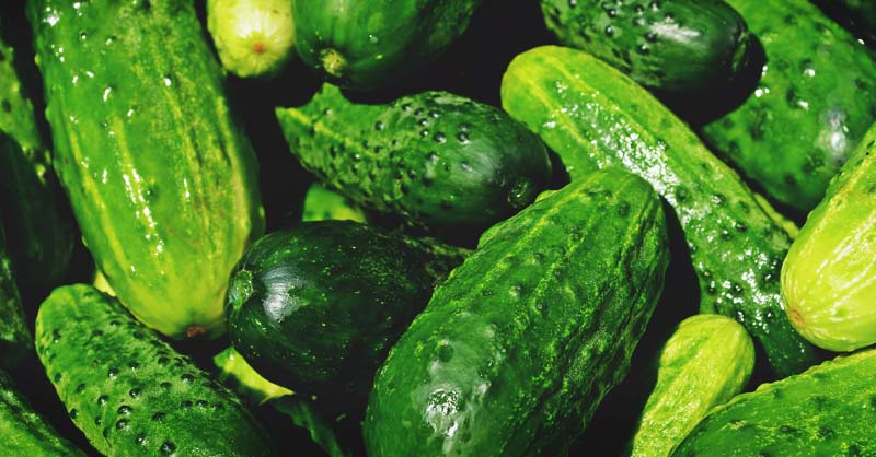 growing cucumbers your guide to plant grow and harvest cucumbers