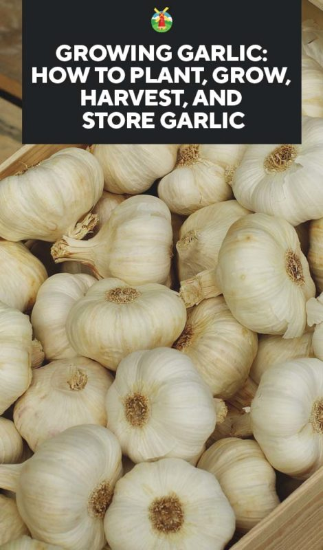 Growing Garlic How To Plant Grow Harvest And Store Garlic