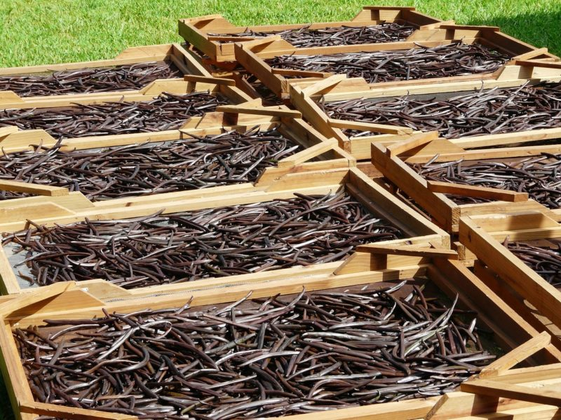 Vanilla pods drying