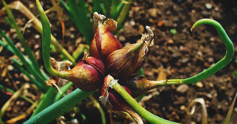 Growing Egyptian Walking Onions How To Plant Grow And