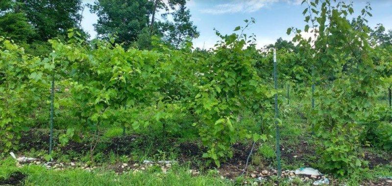 grape plants suited for propogation