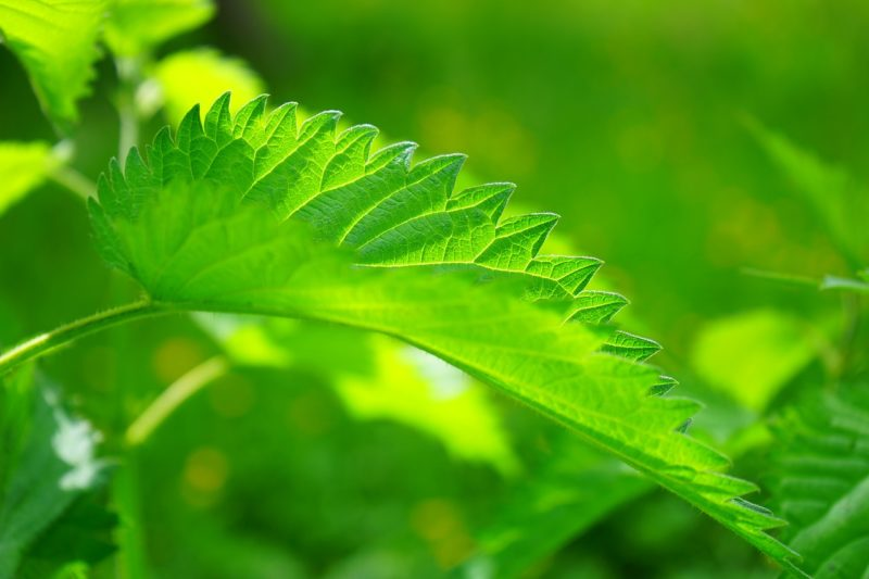 The stinging nettle leave