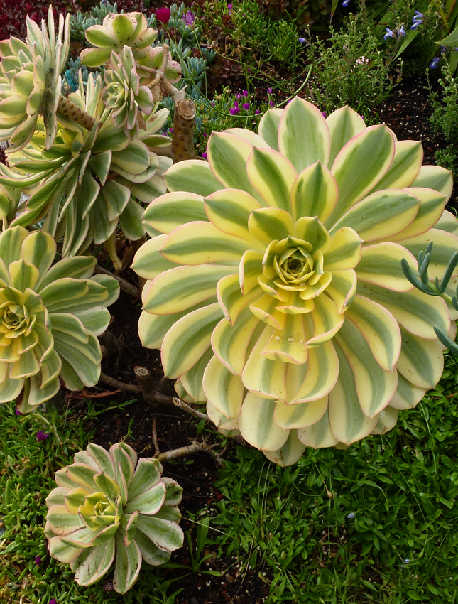 29 types of succulent plants for your terrarium indoor decor or via anniesannuals the sunburst produces yellow flowers mightylinksfo