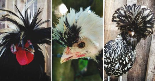 About Polish Chickens: The Royalty of the Poultry World