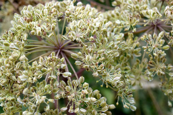 Angelica edible flowers
