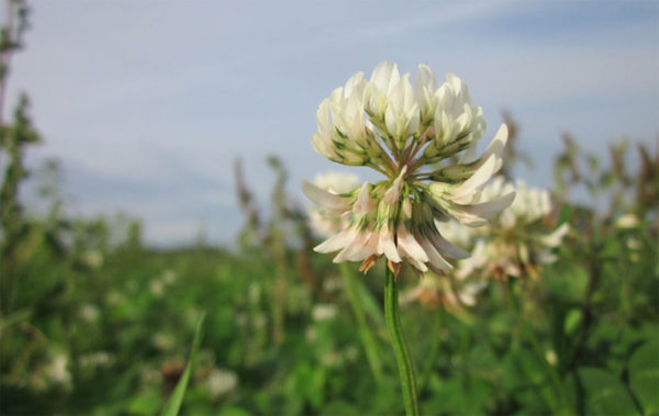 White clover edible flowers